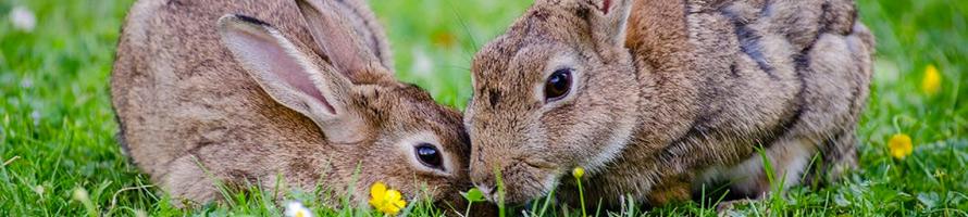 imagen de dos conejos en la hierba
